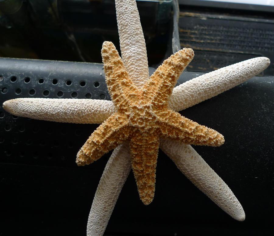 FIsh Two Starfishees wallpaper