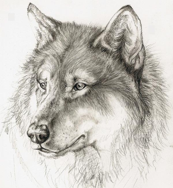 wolf by xchelseax92 on deviantart