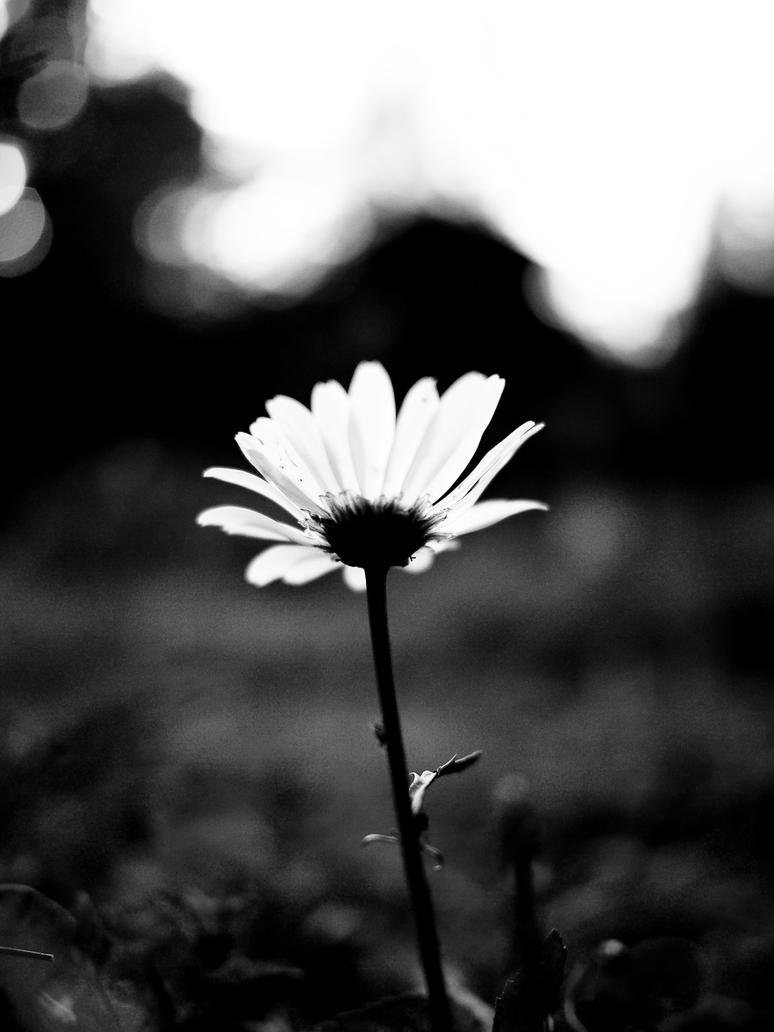 Flower in Black and White by cnewhall on DeviantArt