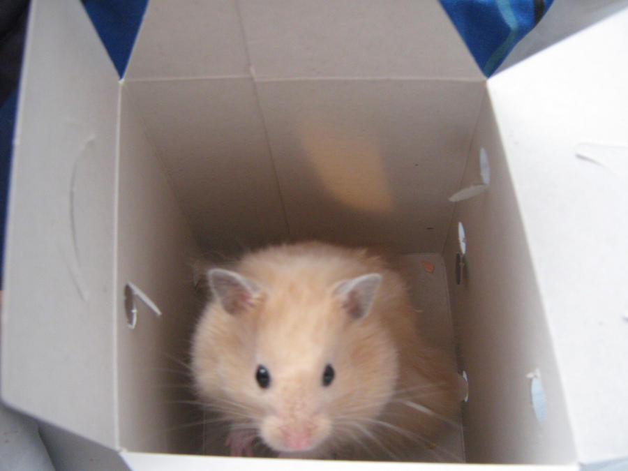 Fluffy the teddy bear hamster by - 60.8KB