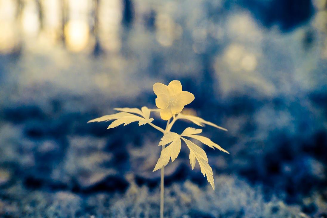 IR wood anemone by Tam3n
