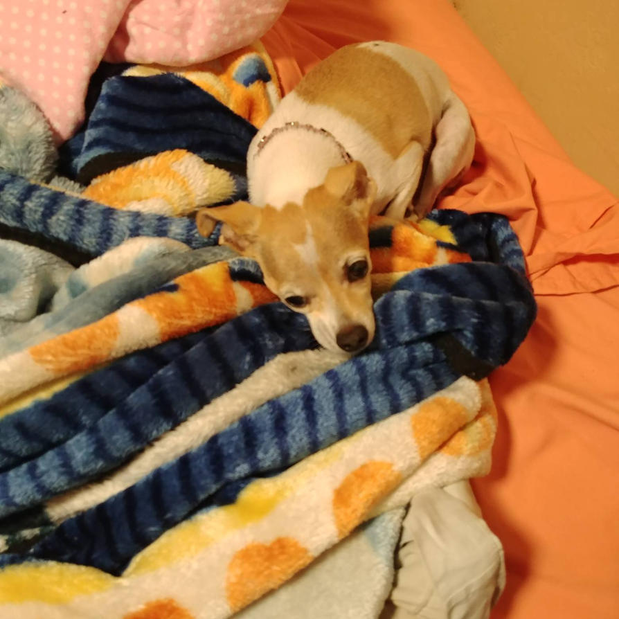 Family Chihuahua waits for Granddaughter by lestnill