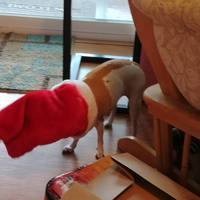 Family Chihuahua eating a treat in her stocking