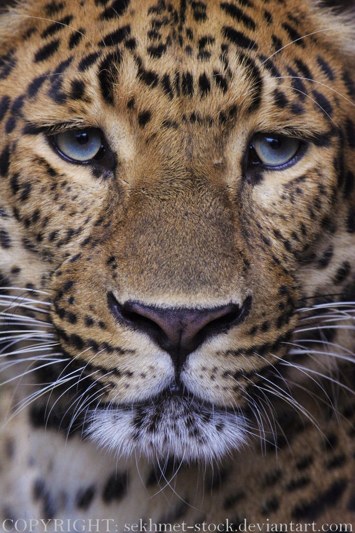 Chinese Panther 8_ stock img by sekhmet-stock on DeviantArt