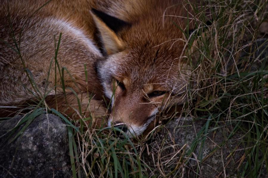 a fox by CoconutCueball