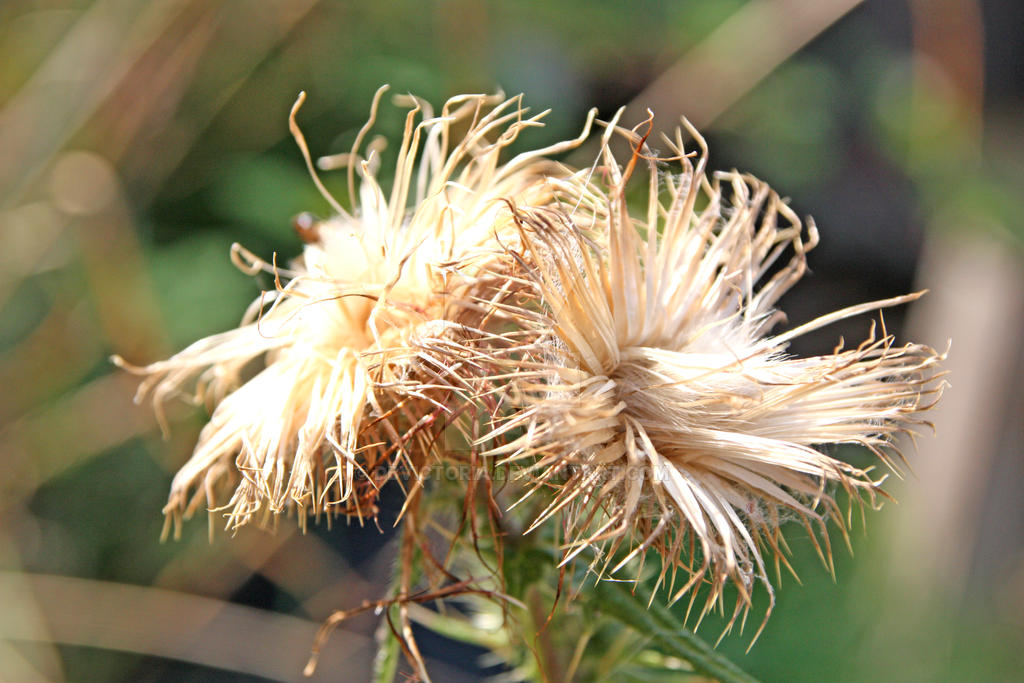 Thistle Gone To Seed 2 by dbvictoria