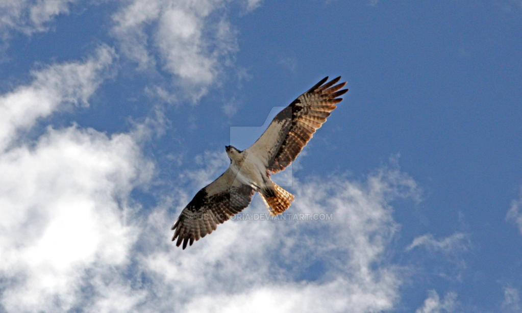 Osprey at Yellowstone by dbvictoria