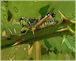 'Grasshopper'