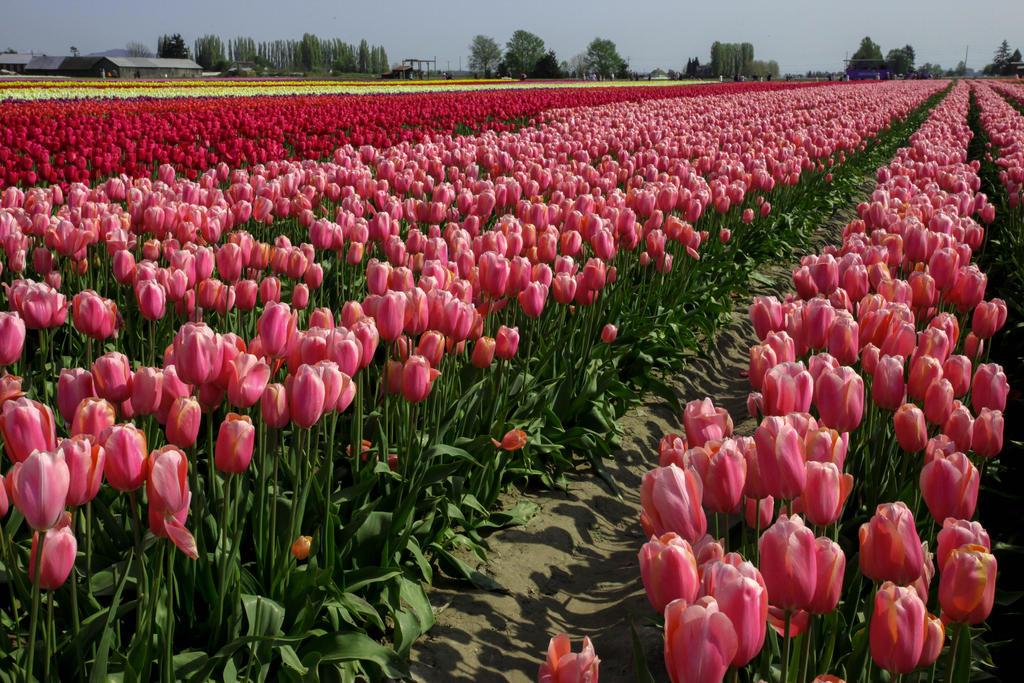 Tulip Festival Washington State 2015 by Ericseye