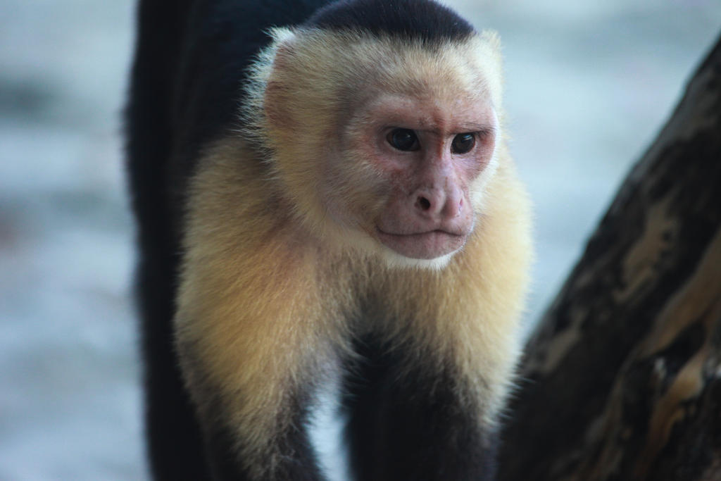 White Face Monkey, Costa Rica by Ericseye