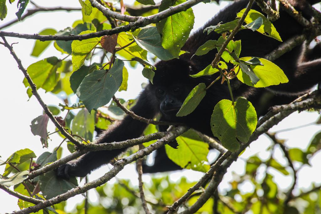 Howler monkey Cloud Forest Costa Rica by Ericseye
