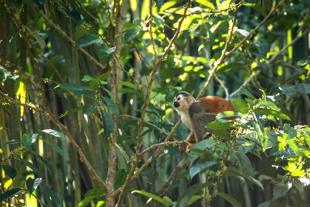 Spider Monkey, Costa Rica by Ericseye