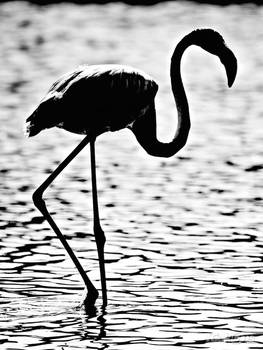 Flamingo ...