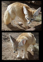 Fennec Foxes by racingwolf