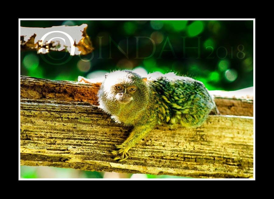 Pygmy Marmoset by Sindah