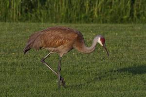 Sandhill Crane by stubirdnb