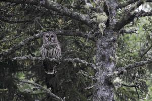 Barred Owl on the watch by stubirdnb