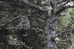 Barred Owl on the watch
