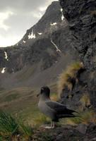 Light-mantled Sooty Albatross by stubirdnb