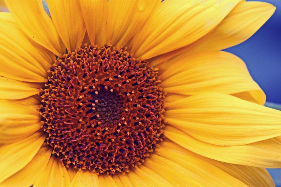 Sunflower by Schneeengel