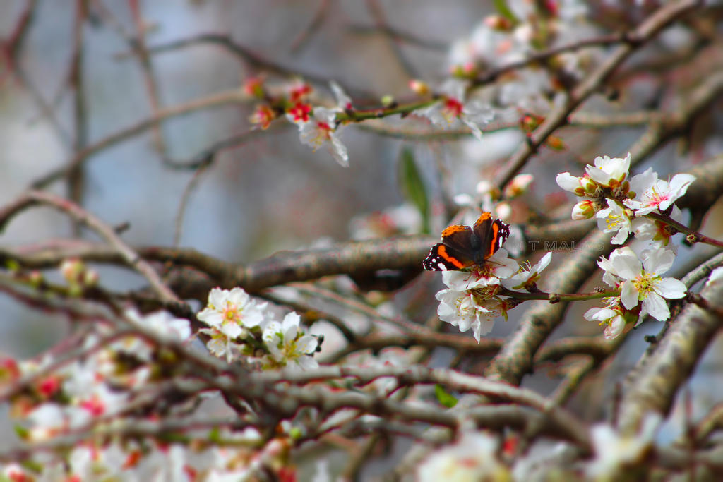 Red Admiral by ntmalas