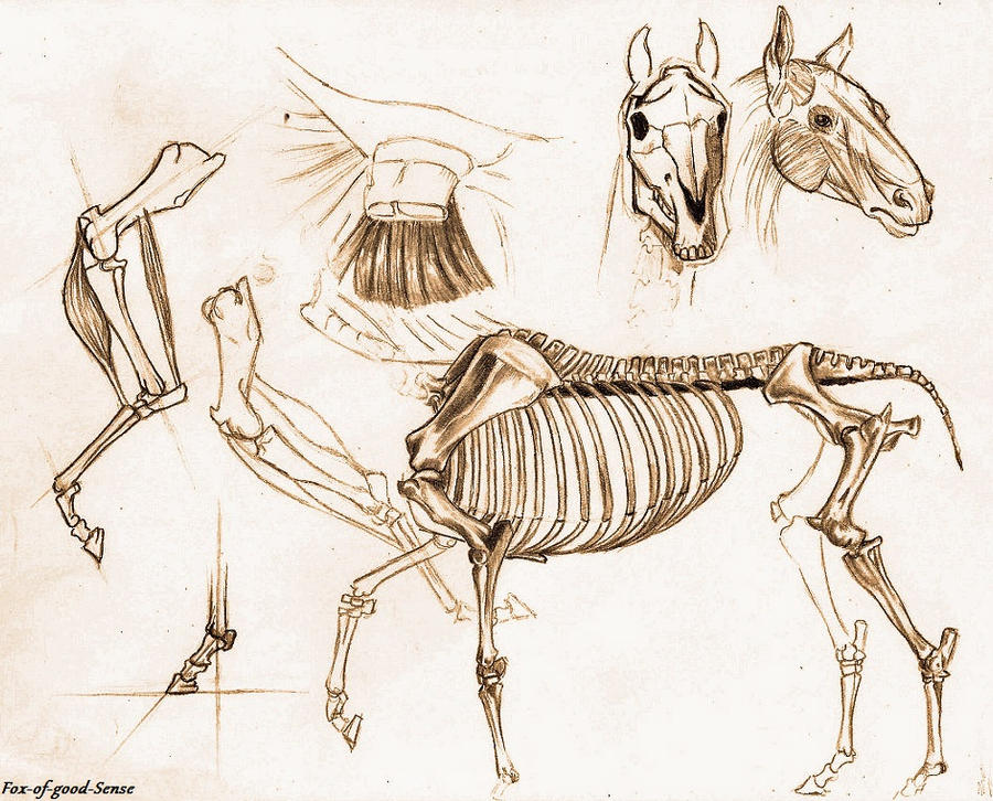 Horse anatomy study by Fox-of-good-Sense on DeviantArt