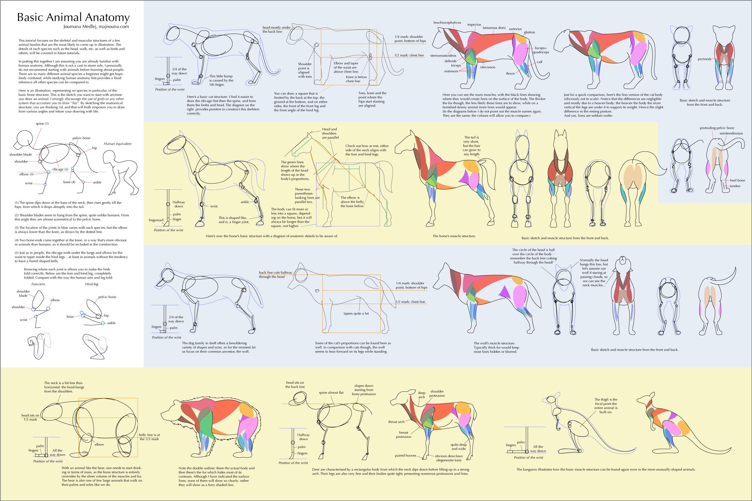 Basic Animal Anatomy by Majnouna on DeviantArt