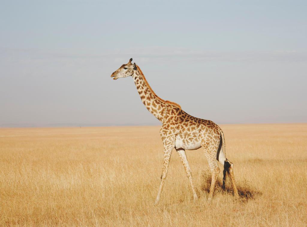 giraffe by tonepiia