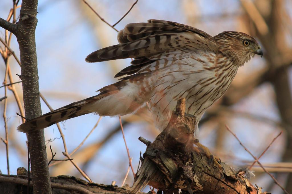 Hawk by CrazyChickenWorld