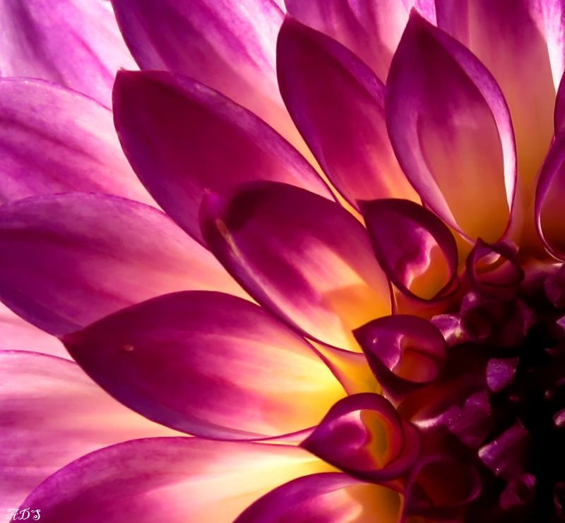 Purple Dahlia by Coatlique