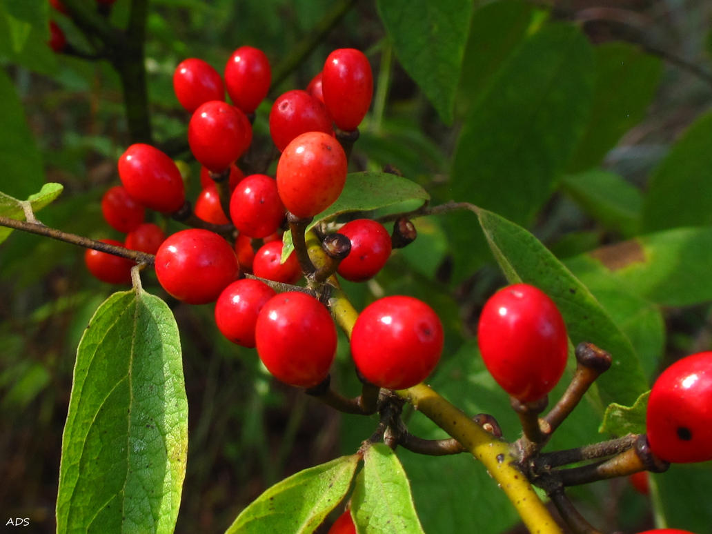 Southern Spicebush by Coatlique