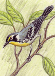 Yellow Throated Warbler by EquusTenebriss