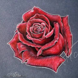 Roses are Red.. by myAtta-art