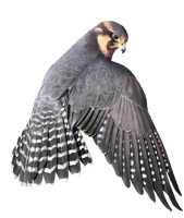 Aplomado Falcon 3 by Papygai4ik