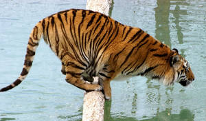 Tiger Crouch