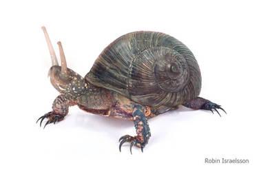 Snigelpadda by rubbe