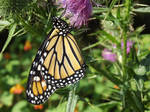 female monarch on a thistle by Mel-L92