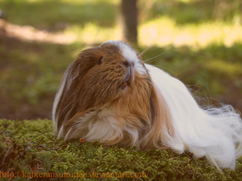 My guinea pig Savannah by Katkeransuloinen