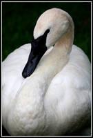Trumpeter Swan 3 by MegMarcinkus
