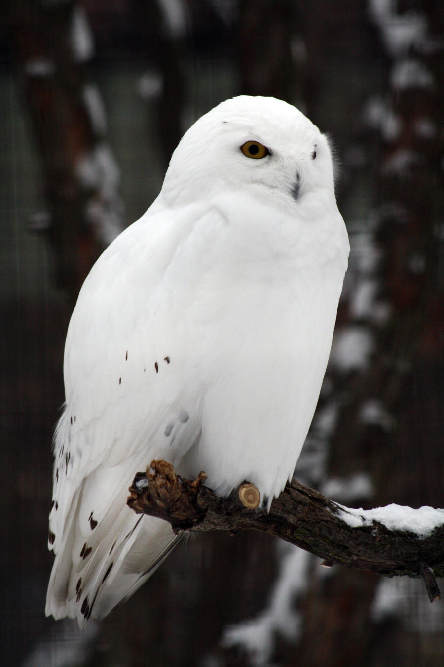 snow owl Snowy owls are mostly white with narrow, sparse brown bars and spots their golden colored eyes are rather small for an owl and their toes and claws are thickly covered with feathers.