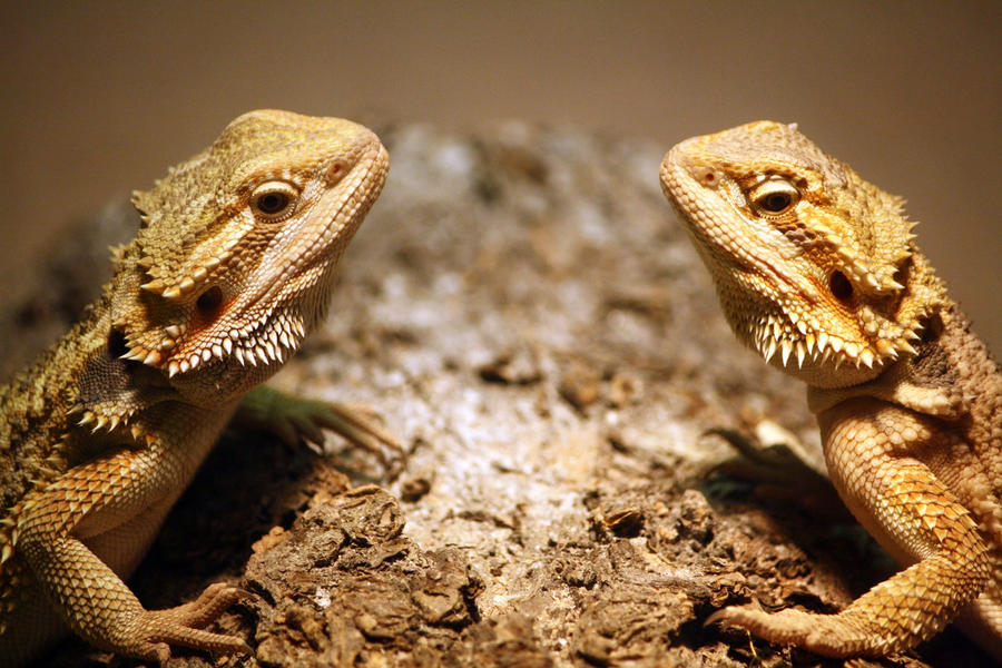 Cute Baby Fancy Bearded Dragons Pictures to Pin on ...