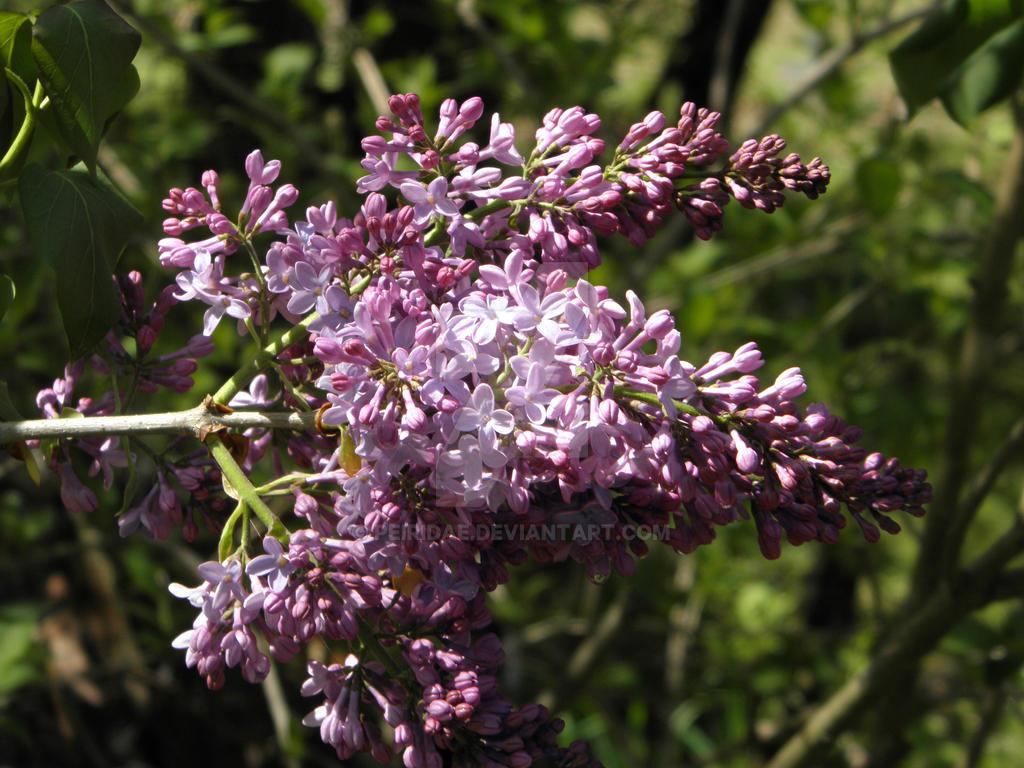 Lilacs by Peiridae