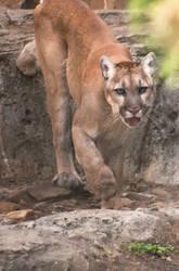 Van Saun Park Zoo's Mountain Lion by Rebelredneck323