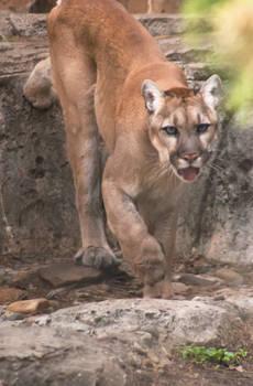 Van Saun Park Zoo's Mountain Lion