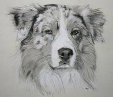 australian shepherd dog by IK-Portraits