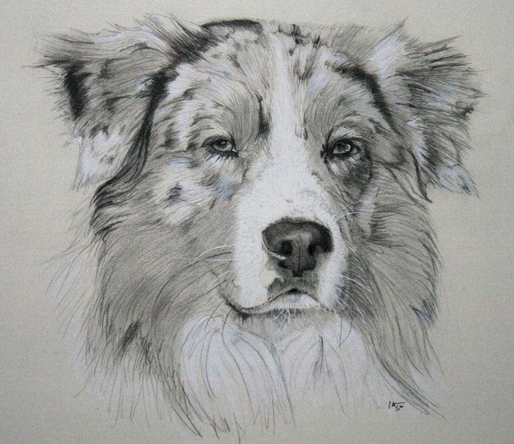 how to draw a sheep dog