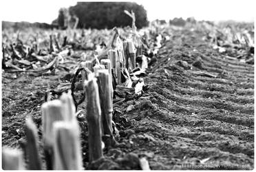 ...someone cut the corn by anafilipacouto