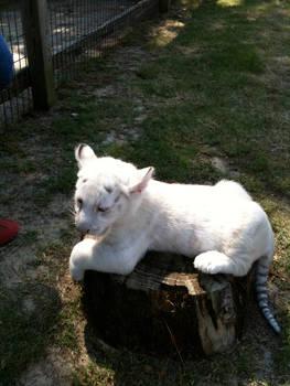 White Bengal Tiger Kitten