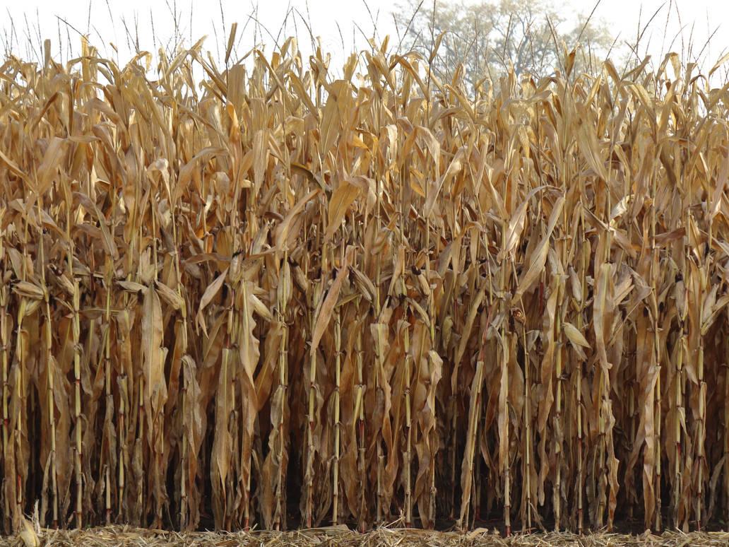 Vieux champs de mais - Old cornfield