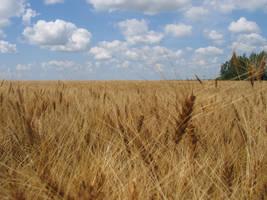 Wheat Field by aesoph